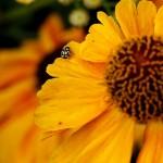 Ladybird on orange flower_Vivian