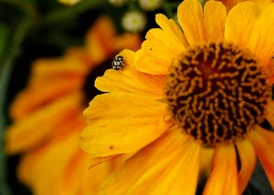 Ladybird on orange flower_Vivian