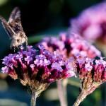 Moth on flower2_VR