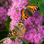 Painted Lady Butterflies 2_VR