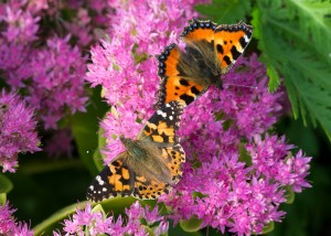 Painted Lady Butterfly _VR