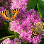Painted Lady Butterfly_VR