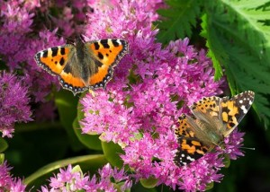 Painted lady butterflies_VR