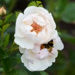 White Roses and bee close up 1_VR.jpg