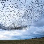 Sparrow hawks murmaration Vivian Russell